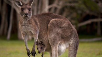 Things you should know about what do kangaroos eat
